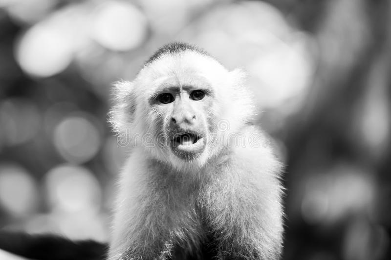 Capuchin with white head fur. Wild animal on blurred natural background. Primate in jungle on sunny day. Wildlife and nature concept. Monkey resting in stock photography