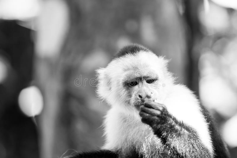 Capuchin with white head fur. Primate in jungle on sunny day. Wildlife and nature concept. Wild animal on blurred natural background. Monkey resting in royalty free stock images