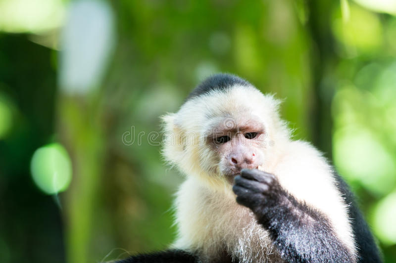 Capuchin with white head fur. Primate in jungle on sunny day. Wildlife and nature concept. Wild animal on blurred natural background. Monkey resting in stock photo