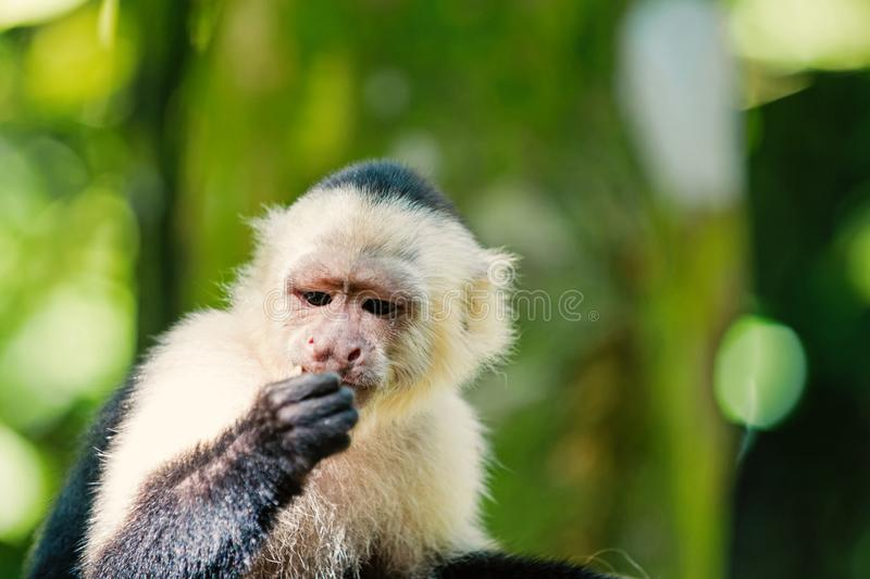 Capuchin with white head fur. Primate in jungle on sunny day. Wildlife and nature concept. Wild animal on blurred natural background. Monkey resting in royalty free stock image