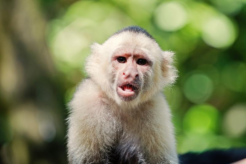 Capuchin with white head fur. Wild animal on blurred natural background. Primate in jungle on sunny day. Wildlife and nature concept. Monkey resting in royalty free stock photos