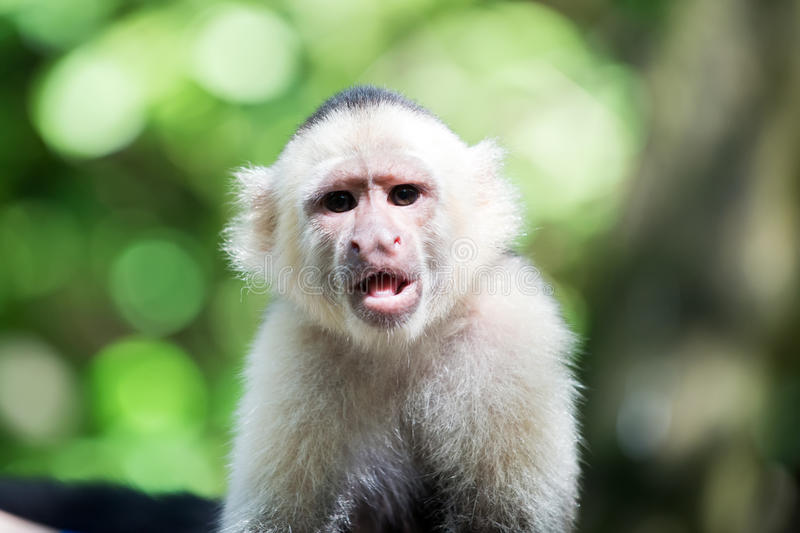 Capuchin with white head fur. Wild animal on blurred natural background. Primate in jungle on sunny day. Wildlife and nature concept. Monkey resting in stock image