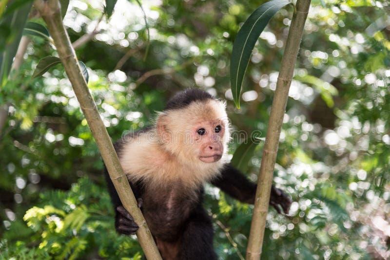 Capuchinapa arkivbilder