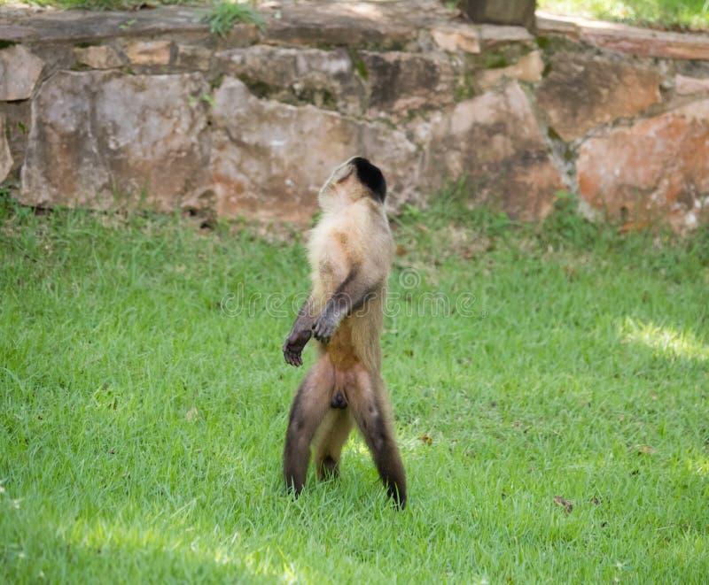 Capuchinapa arkivfoton