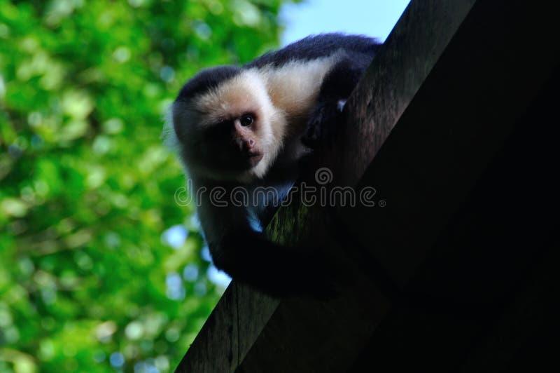capuchinen vände white mot arkivfoto