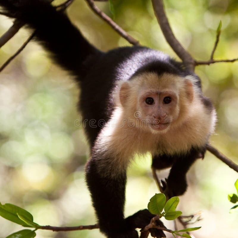Capuchinfallhammer in einem Baum lizenzfreie stockbilder
