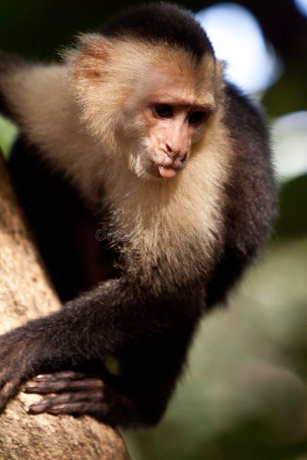 Capuchinfallhammer in einem Baum stockfoto