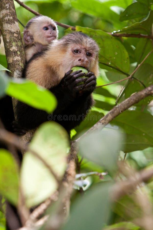 Capuchinfallhammer mit Jungen in einem Baum lizenzfreie stockfotos
