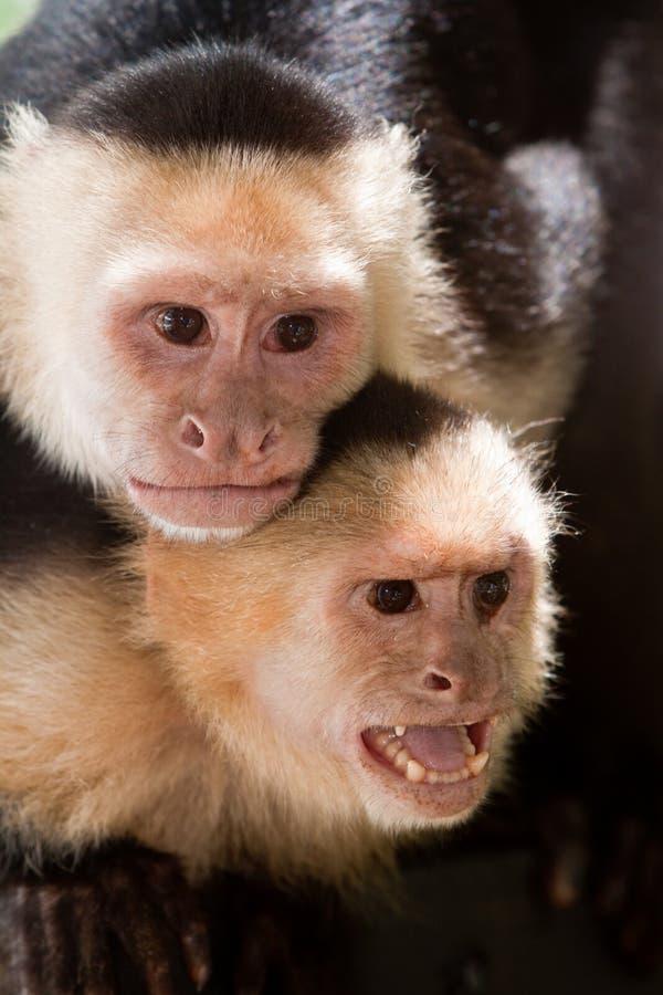 Capuchinfallhammer mit Knaben auf ihr zurück stockbild