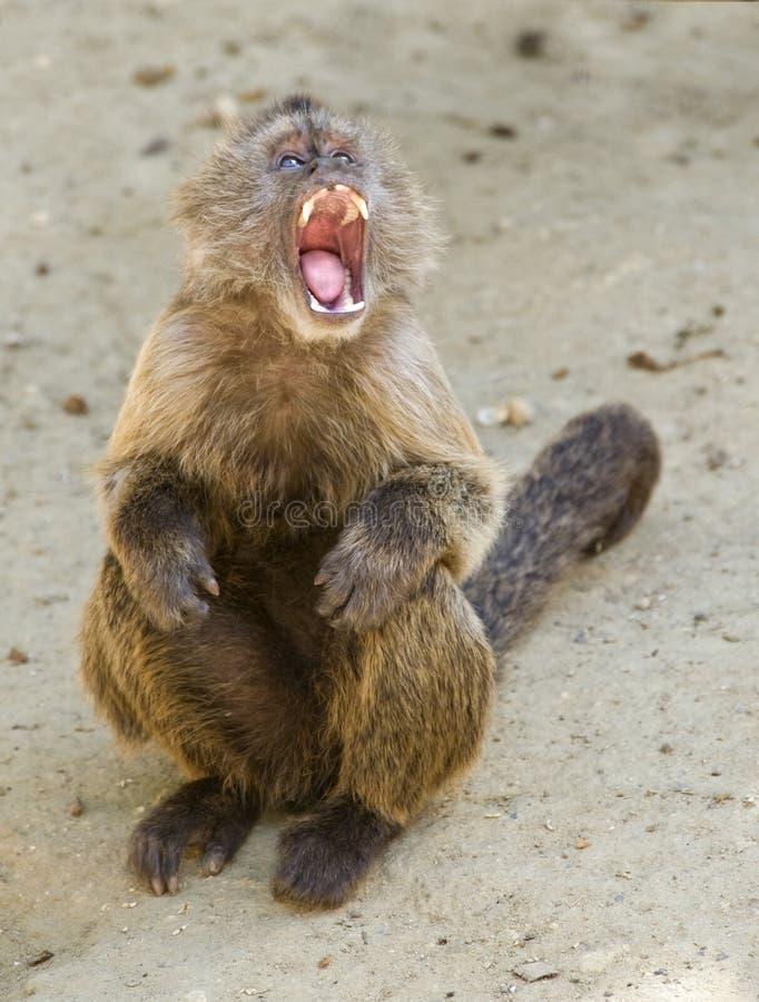 Capuchinweeper-Fallhammer stockfotografie