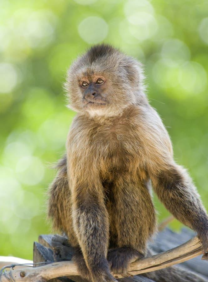 Capuchinweeper-Fallhammersitzen lizenzfreie stockfotografie