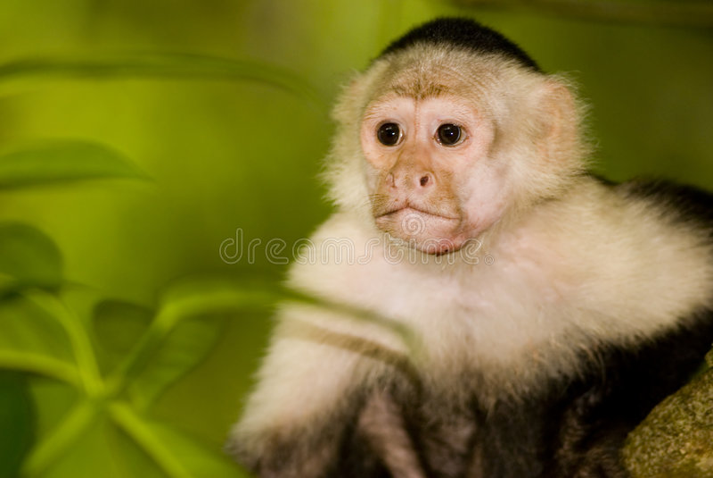 Capucin monkey in the wild. Capucin monkey in Costa Rica, Osa peninsula stock photos