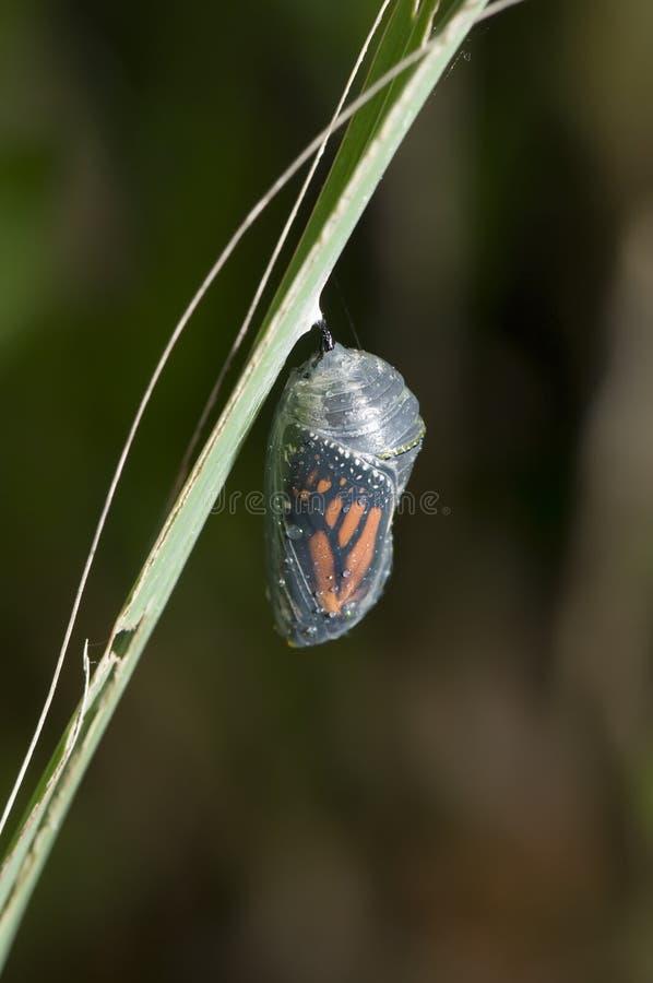 Capullo del monarca fotos de archivo