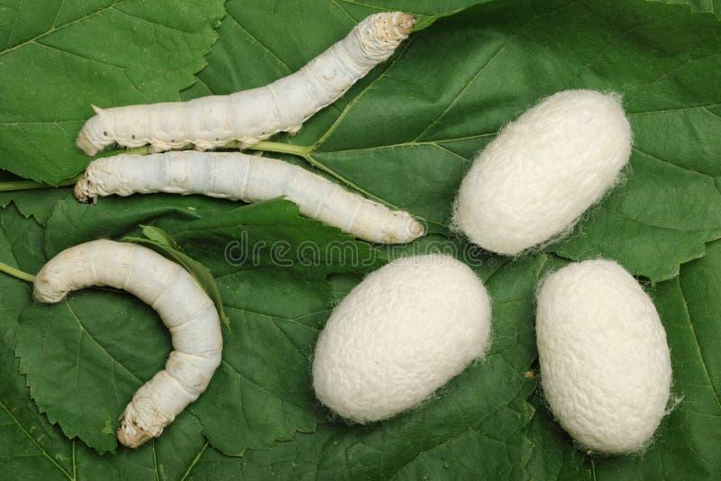 Capullos de seda con el gusano de seda fotografía de archivo libre de regalías