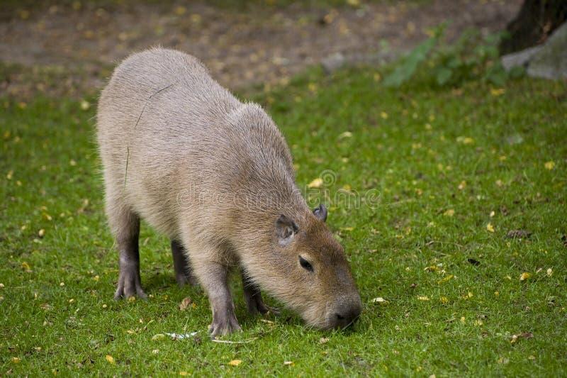 Capybara stockfotos