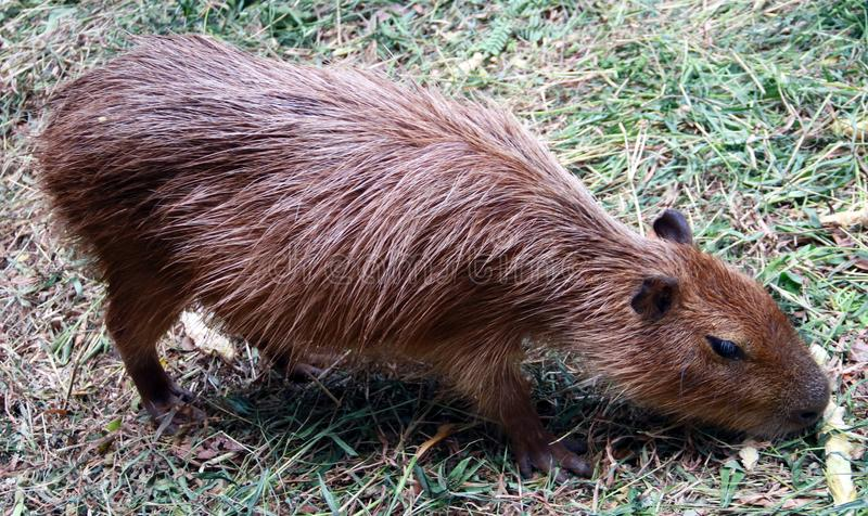 Capybara immagini stock libere da diritti
