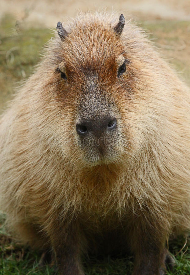 Capybara stock photography