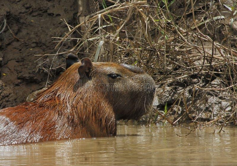 Capybara foto de archivo libre de regalías
