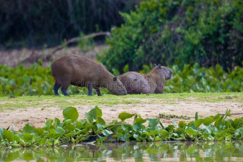 capybara стоковые изображения