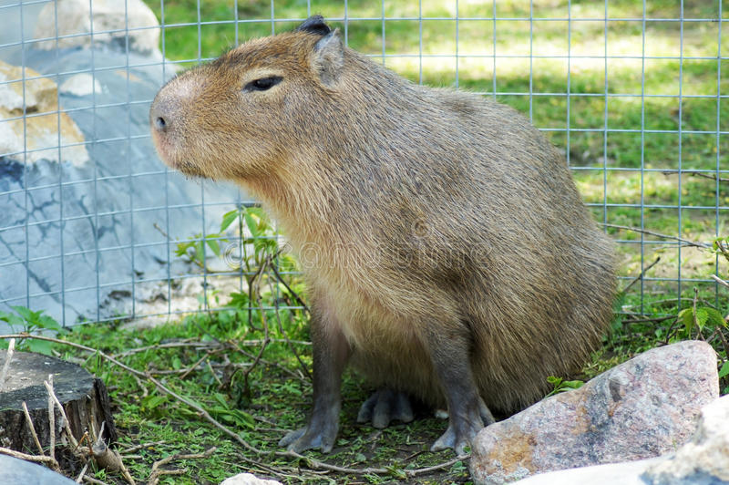 Download Capybara stock photo. Image of close, grass, animal, herbivore - 19629334