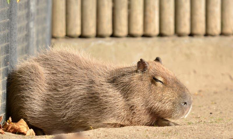 Capybara, stock fotografie