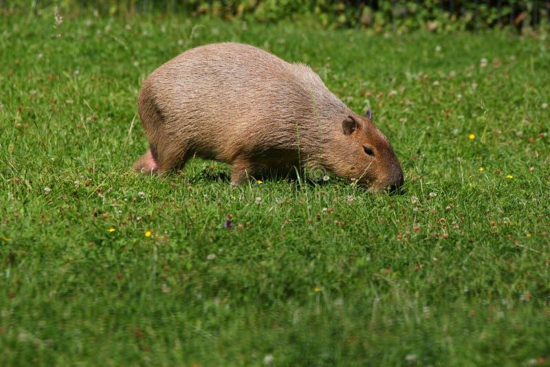 Capybara stock fotografie
