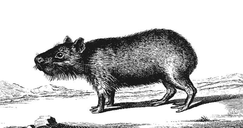 Capybara vector illustratie