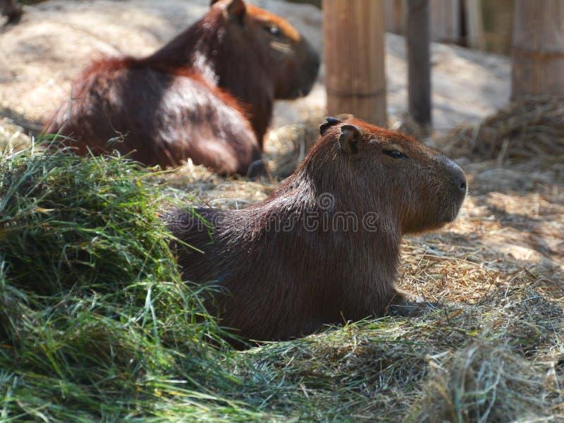 Capybara fotos de archivo