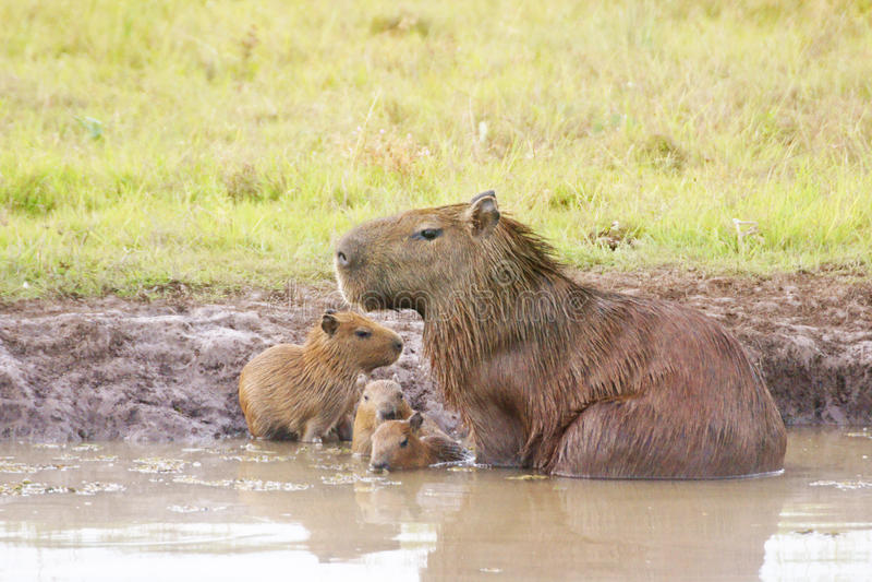Download Capybara στοκ εικόνα. εικόνα από έλη, εμφανίζεται, pampas - 62703199