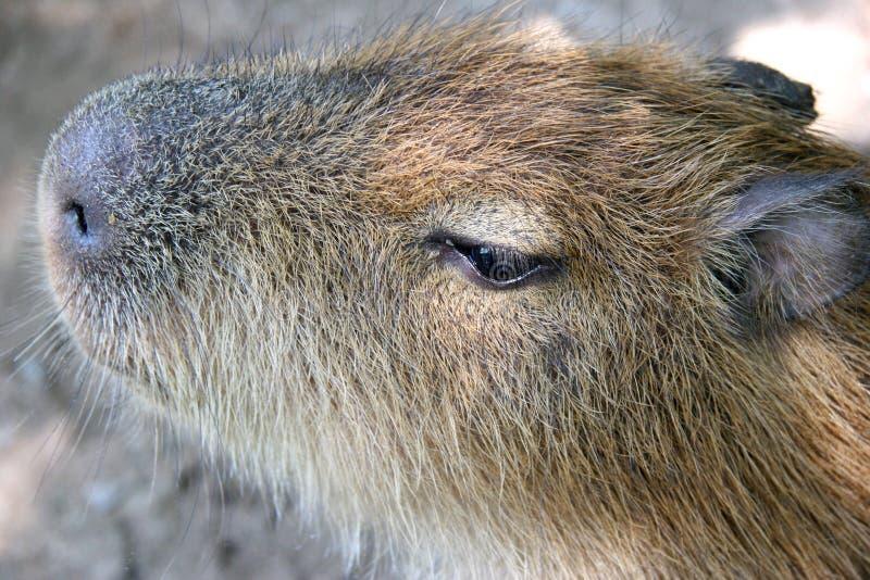 Capybara imagem de stock