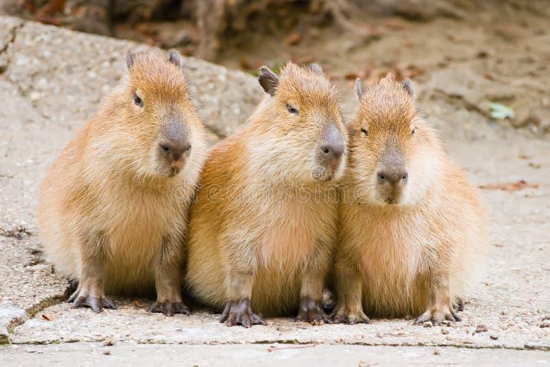 Capybara stock afbeeldingen