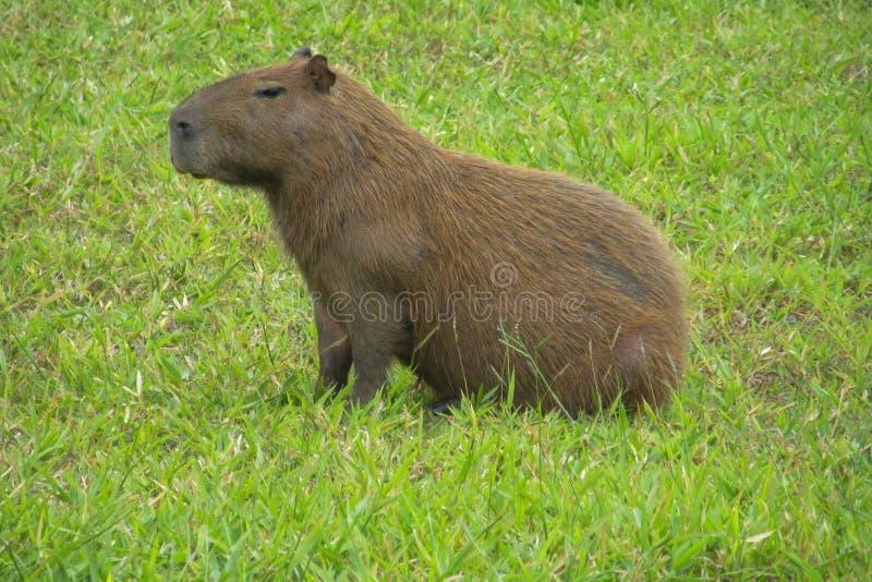 Capybara foto de stock
