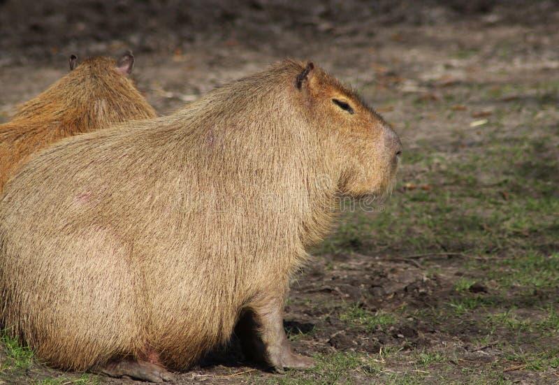 Capybara royaltyfri foto