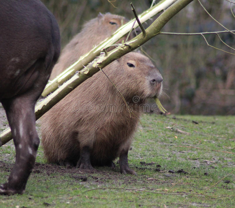 Capybara royaltyfri bild