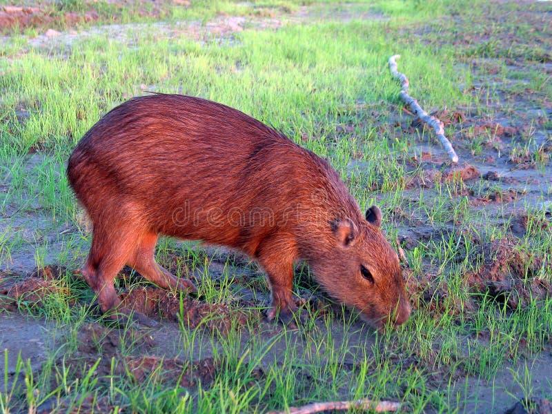 Capybara royalty-vrije stock afbeeldingen