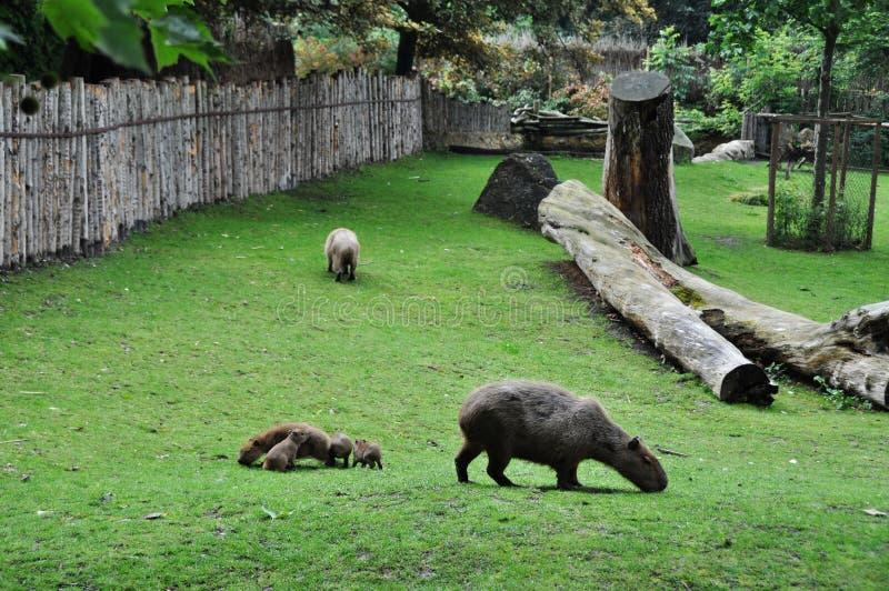 Capybara fotografia stock libera da diritti