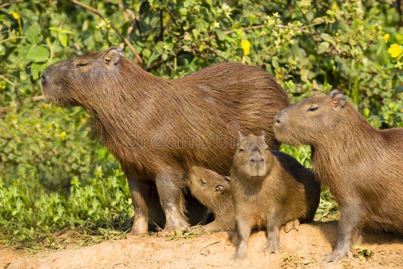 Capybara adulto e vários juvenis envelhecidos fotos de stock