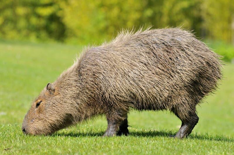 Capybara che mangia erba immagini stock