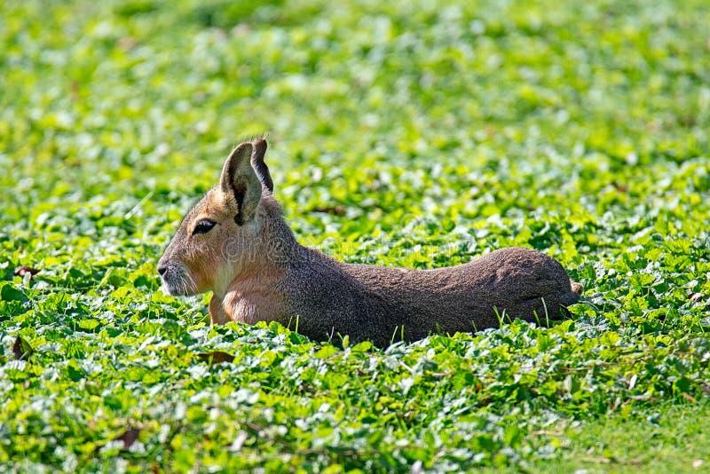 Capybara che si trova nell'erba fotografia stock libera da diritti