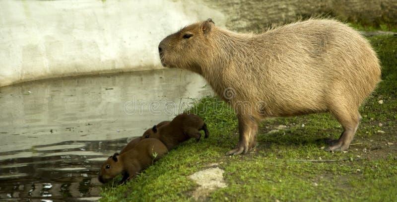 Capybara com filhotes imagem de stock royalty free