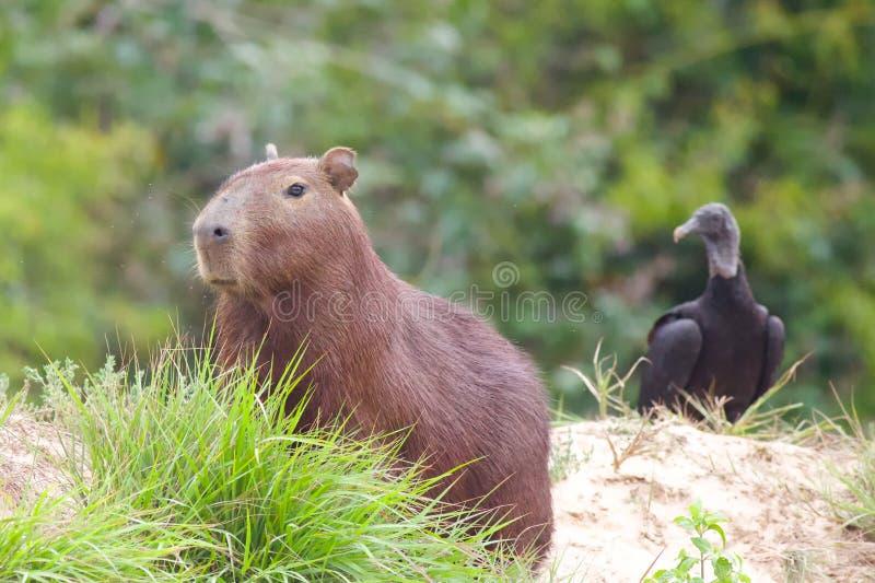 Capybara con el buitre que mira en fondo imagen de archivo libre de regalías