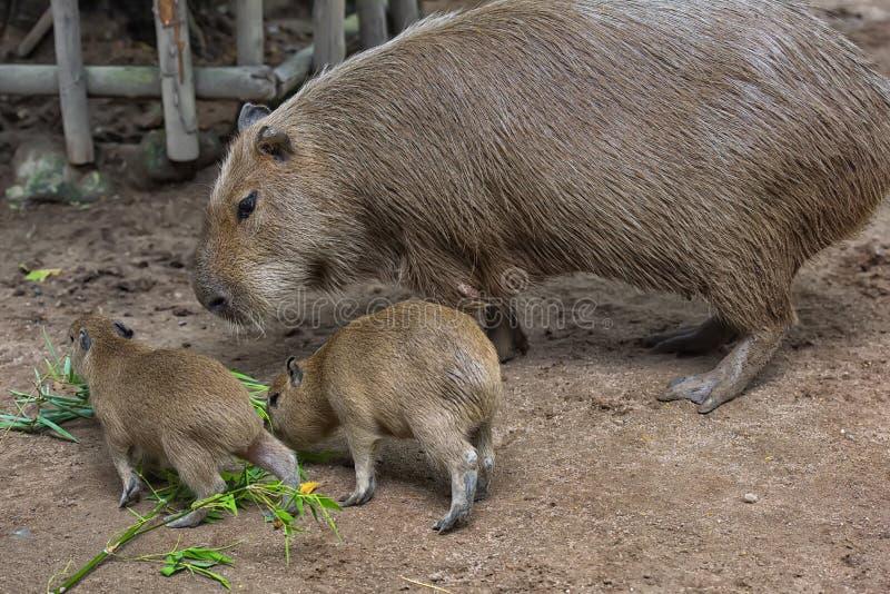 Capybara con los cachorros imagenes de archivo
