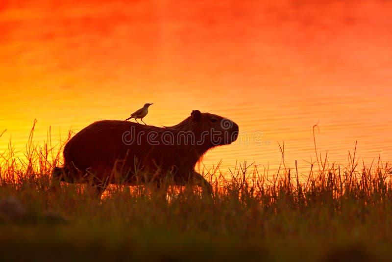 Capybara dans l'eau de lac avec l'oiseau La plus grande souris autour du monde, Capybara, hydrochaeris de Hydrochoerus, avec la l photos stock