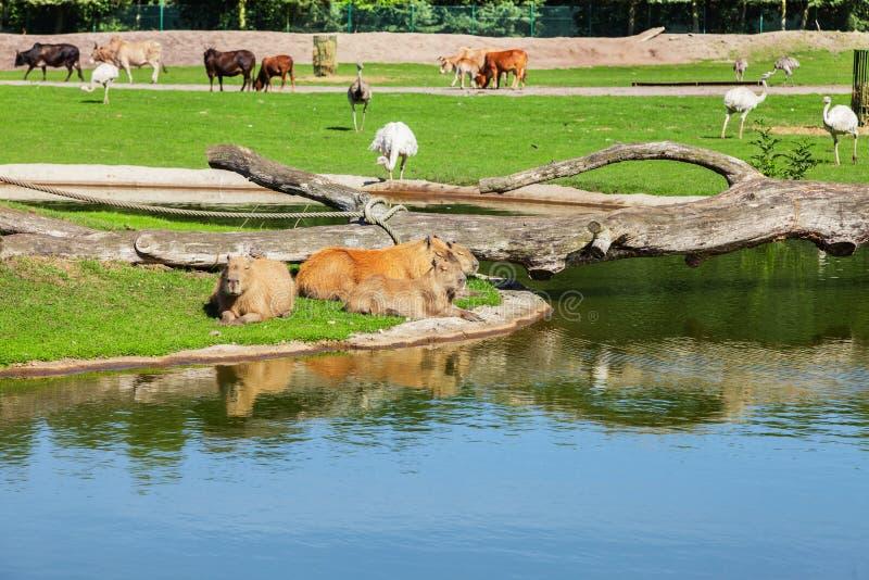 Capybara, das größte Nagetier in der Welt stockbild