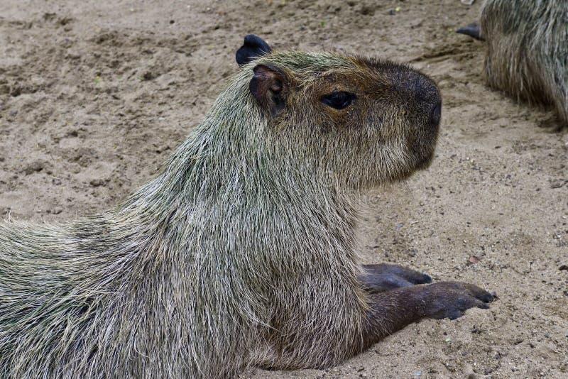 Capybara das größte Nagetier der Welt in einem Safari-Park lizenzfreies stockfoto