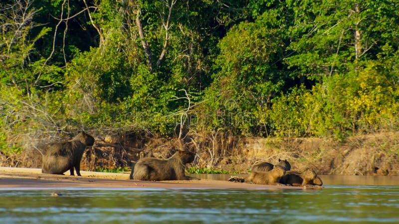Capybara de Capybaras sur la berge Pantanal, Brésil images libres de droits