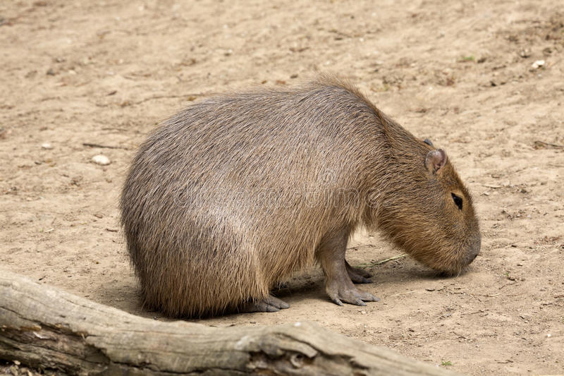 Capybara de hydrochaeris de Hydrochoerus, le plus grand rongeur photo stock