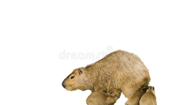 Capybara de la madre con sus perritos del bebé aislados en un fondo blanco foto de archivo