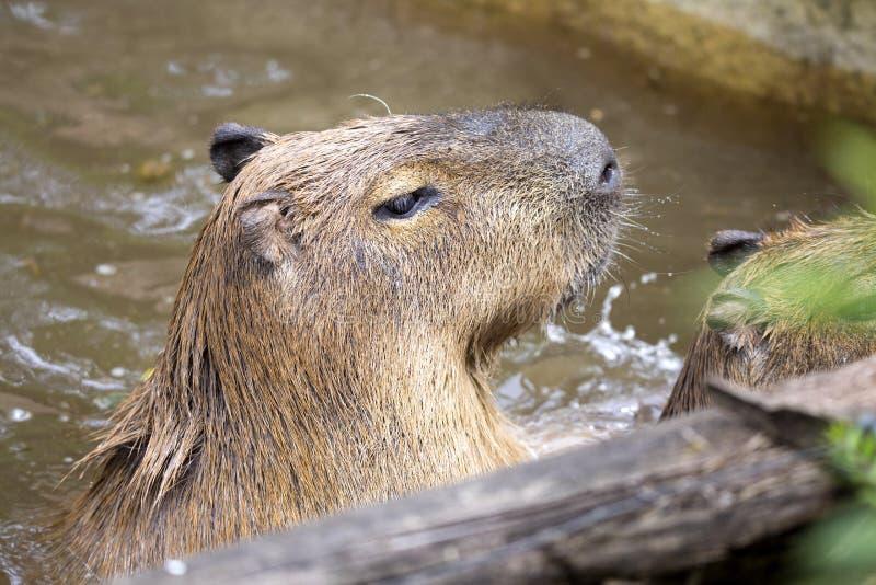 Capybara de los hydrochaeris del Hydrochoerus, el roedor más grande fotos de archivo libres de regalías