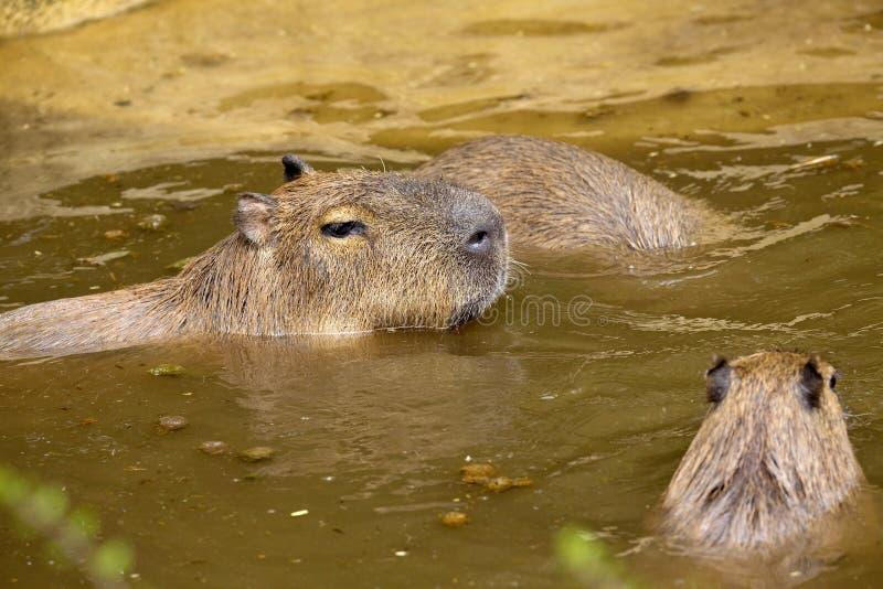 Capybara de los hydrochaeris del Hydrochoerus, el roedor más grande imagen de archivo